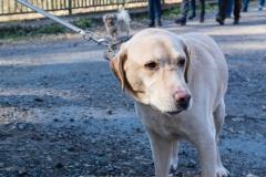 Labrador Max